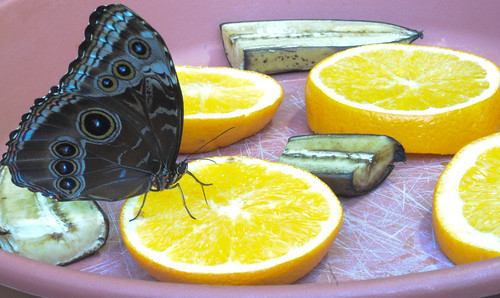 Butterfly and Citrus