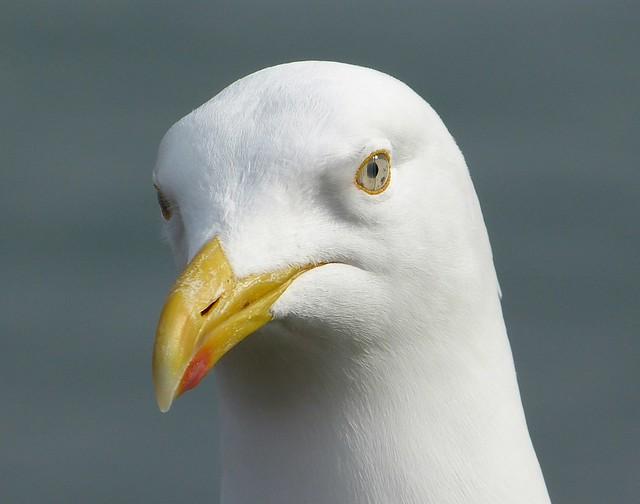 25839 - Herring Gull, Lyme Regis