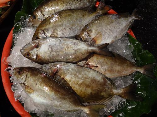 臭肚魚俗稱象魚,是北海岸冬季磯釣的三大主角之一
