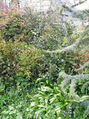 Holly, flowering currant and cedrus glauca Atlantica