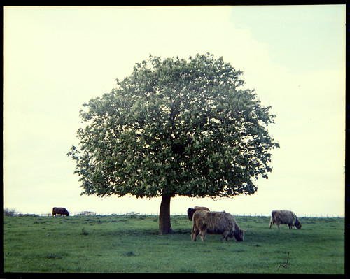 horse chestnut and highland cattle by pho-Tony