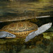 Small photo of Aquar.dia.terrapin