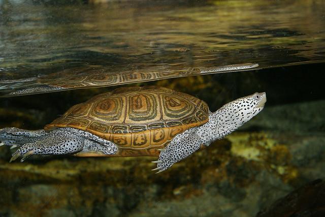 Aquar.dia.terrapin See diamondback terrapins, a turtle com ...