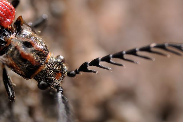 Denticollis nipponensis