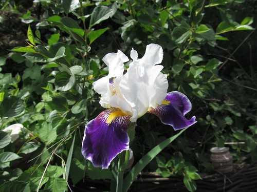 iris_white_blue_May15_2012
