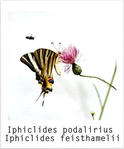 Iphiclides podalirius = Iphiclides feisthamelii