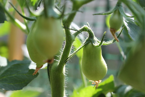 20120620. We have green tomatoes.