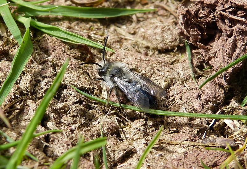 P1070451_2 - Ashy Mining Bee