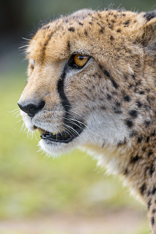 Profile of a cheetah