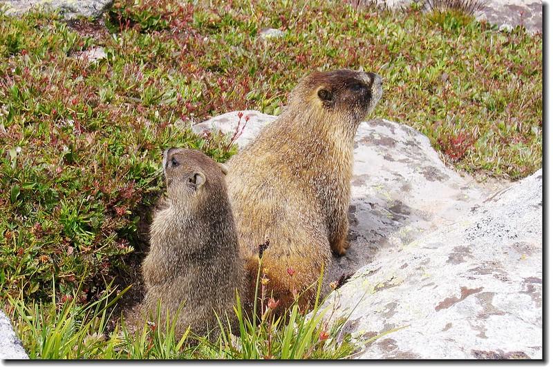 Marmot 8