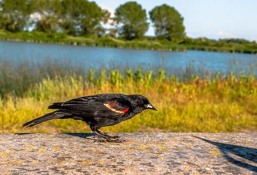 Blackbird Surprise