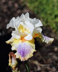Double J Iris Gardens