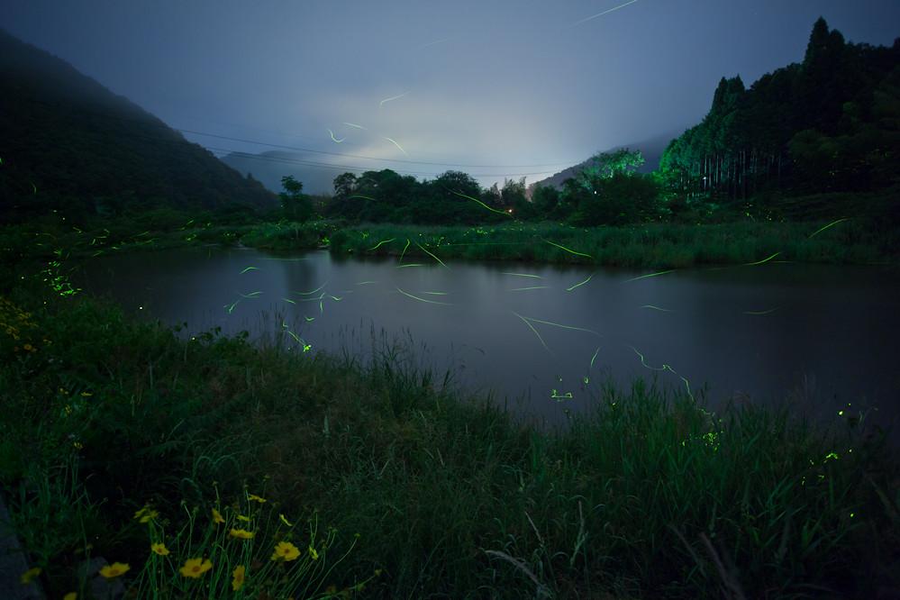 Firefly at Cherating, Pahang