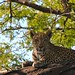 Our Leopard at Chobe!