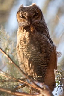 Great Horned Owl - juvenile