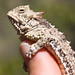 Coast Horned Lizard - Photo (c) Ken-ichi Ueda, some rights reserved (CC BY-NC-SA)