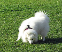 puppy(0.0), dog breed(1.0), animal(1.0), german spitz klein(1.0), dog(1.0), japanese spitz(1.0), pet(1.0), volpino italiano(1.0), german spitz(1.0), mammal(1.0), german spitz mittel(1.0), american eskimo dog(1.0), samoyed(1.0), pomeranian(1.0),