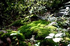 Moss at Hakone - 03