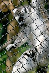 Ring-tailed Lemur - 25