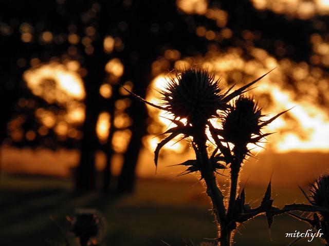 Sunset Thistles 3