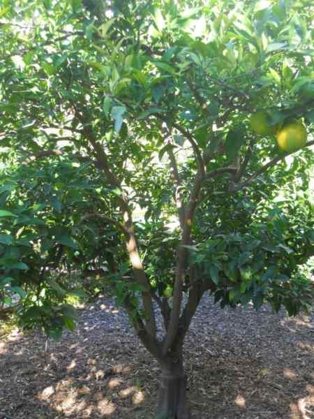 Citrus sinensis 'Newhall' v 2