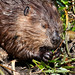 Small photo of American Beaver