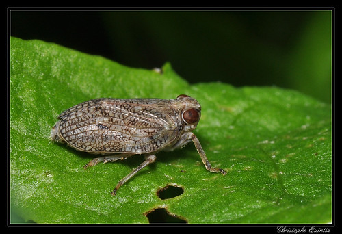 Issus coleoptratus