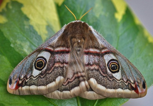 Emperor Moth Saturnia pavonia Female by Kinzler Pegwell