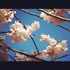 Spring Cherry Blossoms. My happy flower.