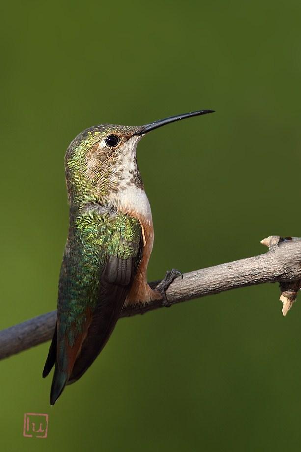 Allen's Hummingbird 041612