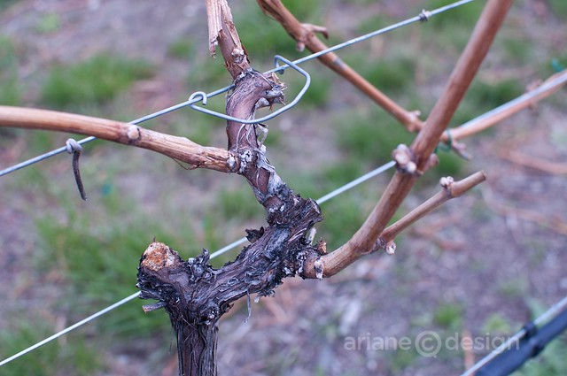 Okanagan Crush Pad vines