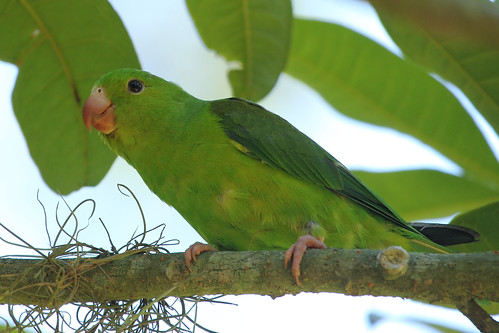 Plain Parakeet (Brotogeris tirica)