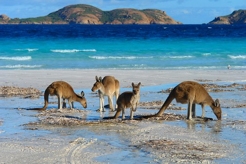 Kangaroos at the Lucky Bay