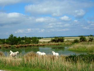 Arlesian Horses