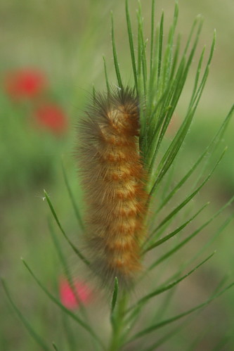 Caterpillar on Gayfeather