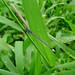 Small photo of Ischnura capreolus. Coenagrionidae