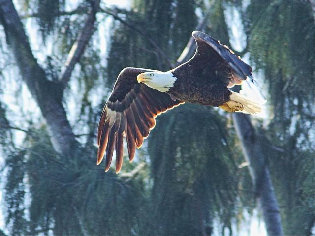 Bald Eagle female departs 20140409