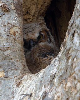 Great Horned Owlet by Steve Gifford