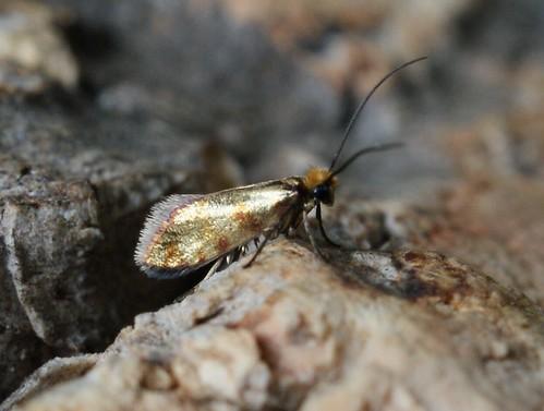 Micropterix tunbergella