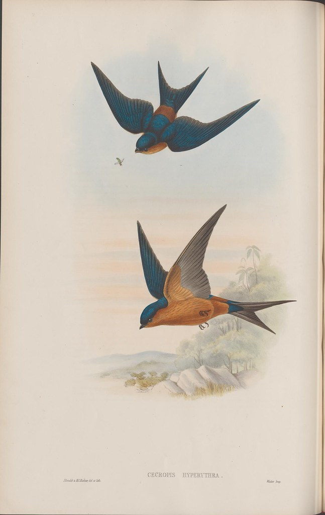 2 blue/brown short-winged birds in book illustration lithograph, in flight, chasing insects