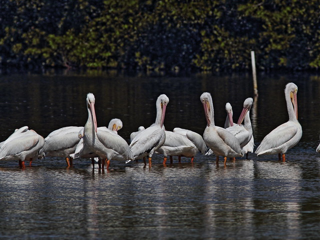 White Pelicans 20140424