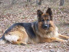 eurasier(0.0), pet(0.0), norwich terrier(0.0), wolfdog(0.0), australian terrier(0.0), dog breed(1.0), german shepherd dog(1.0), animal(1.0), dog(1.0), old german shepherd dog(1.0), tervuren(1.0), bohemian shepherd(1.0), east-european shepherd(1.0), shiloh shepherd dog(1.0), carnivoran(1.0),