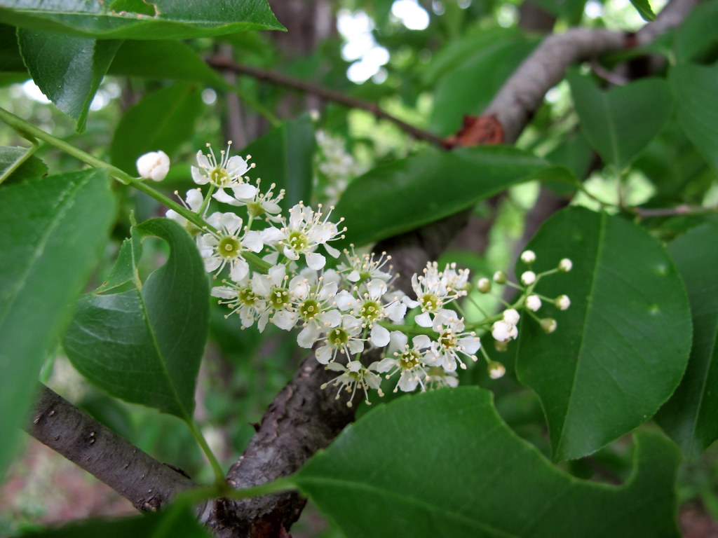 Rum cherry tva white 39 s creek small wild area plants for Plantas frutales