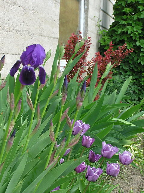 Bearded iris & Tulipa 'Blue Parrot'