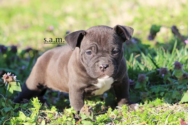 American Bully Eog Bullseye Puppy Flickr Photo Sharing
