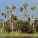 Cabbage Palmetto - Photo (c) Mary Keim, some rights reserved (CC BY-NC-SA)