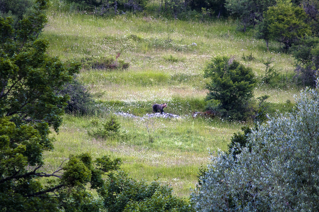Orso marsicano - L'immagine di loriz è sotto licenza CC BY-NC 2.0