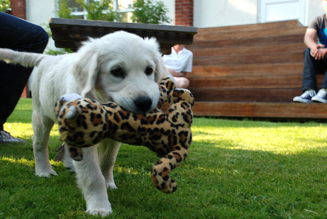 Cute and Funny Puppy Golden Retriever With His Toy