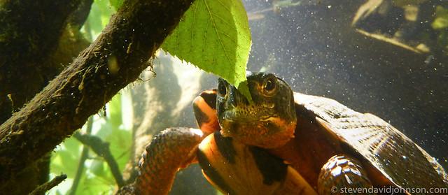 Wood Turtle, Under the Shenandoah, North Fork