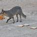 Fox eating bread
